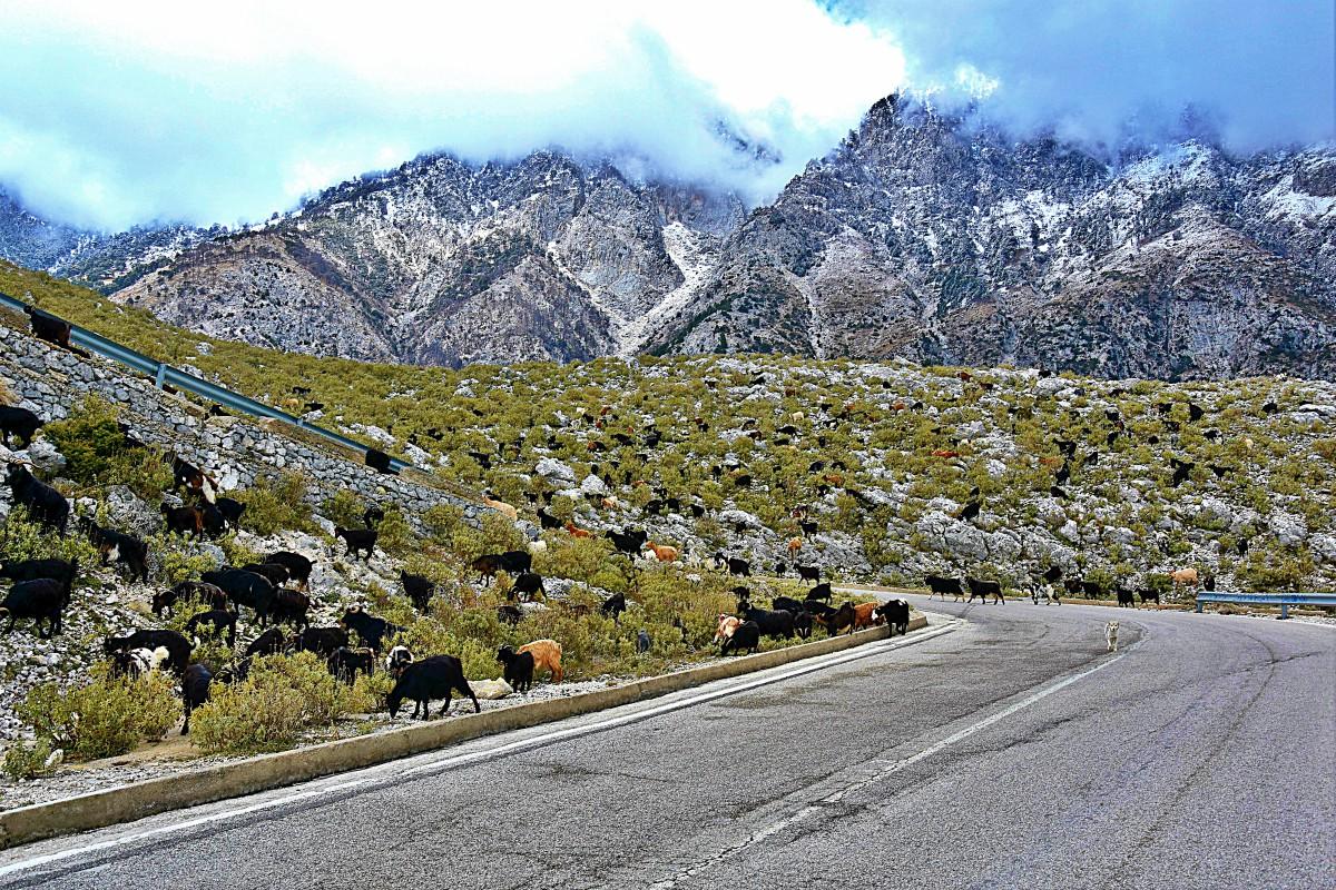 goats-Albania